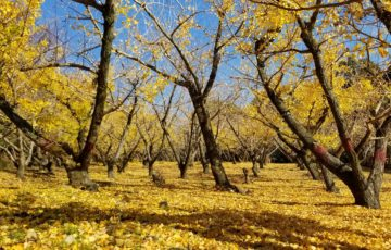 イチョウの黄色い絨毯と青空